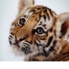 tiger.d_写真